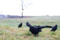 Beflockte Lockkrähe mit Flügeln